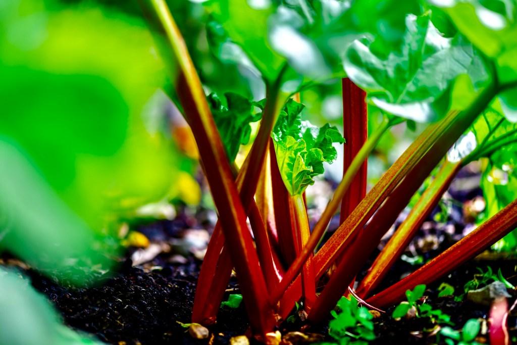 Fresh Rhubarb plant on the ground.