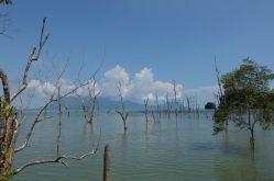 Dead mangrove trees Bako