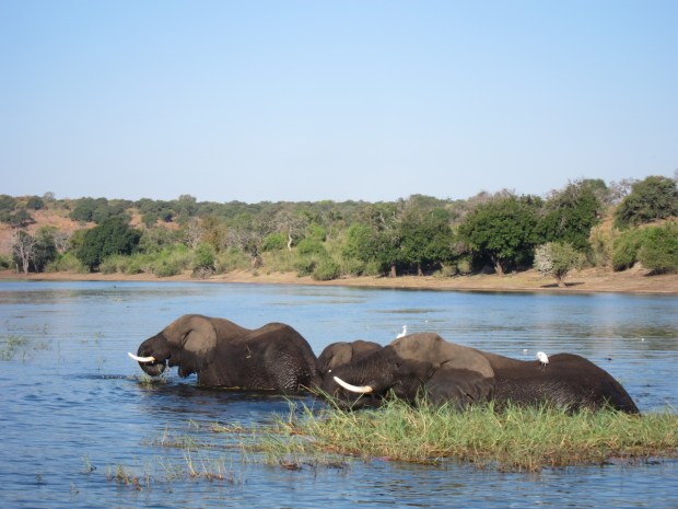 elephants wild africa