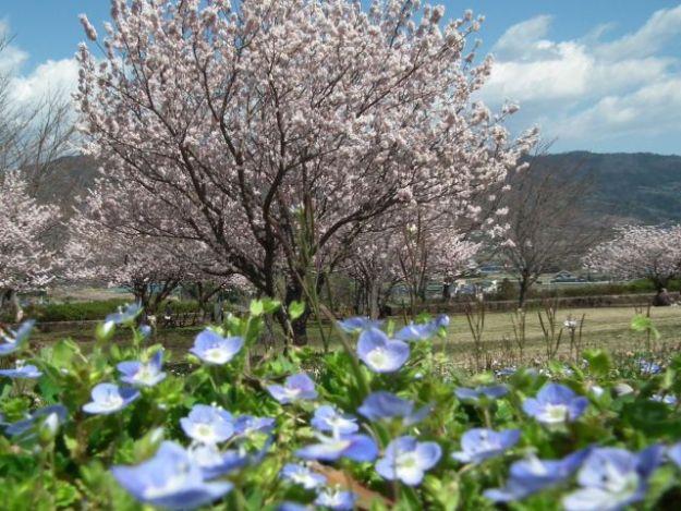 桜とオオイヌノフグリ