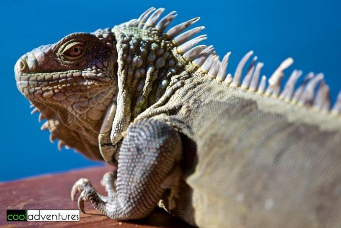 Bonaire iguanas