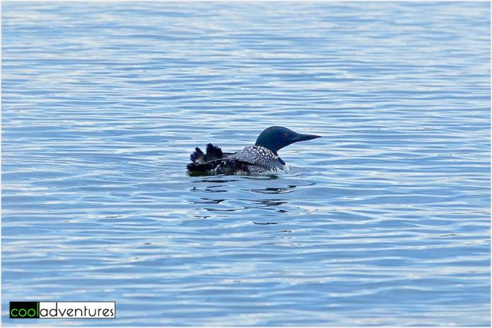 Momma Loon and her baby, Detroit Lake