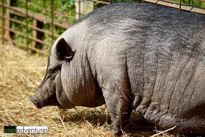 Hog at Paul's Petting Barn, Paul Bunyan Land, Brainerd, Minnesota