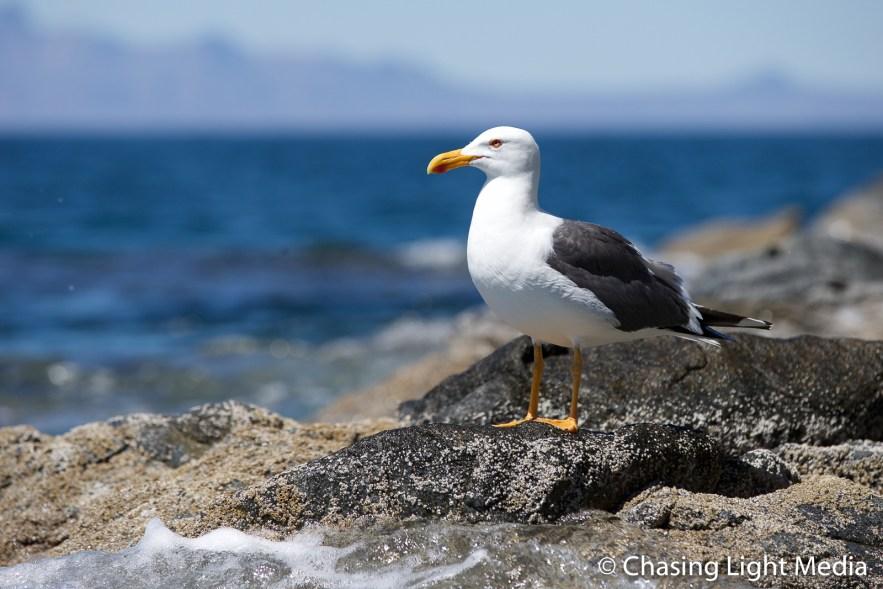 Seagull on watch at the waters edge, Kenny's Krazy Koastal Kruz,