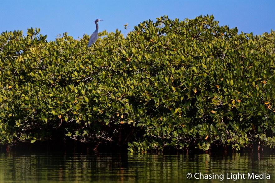 Tri-colored heron in the mangroves of Laguna San Ignacio, Mexico