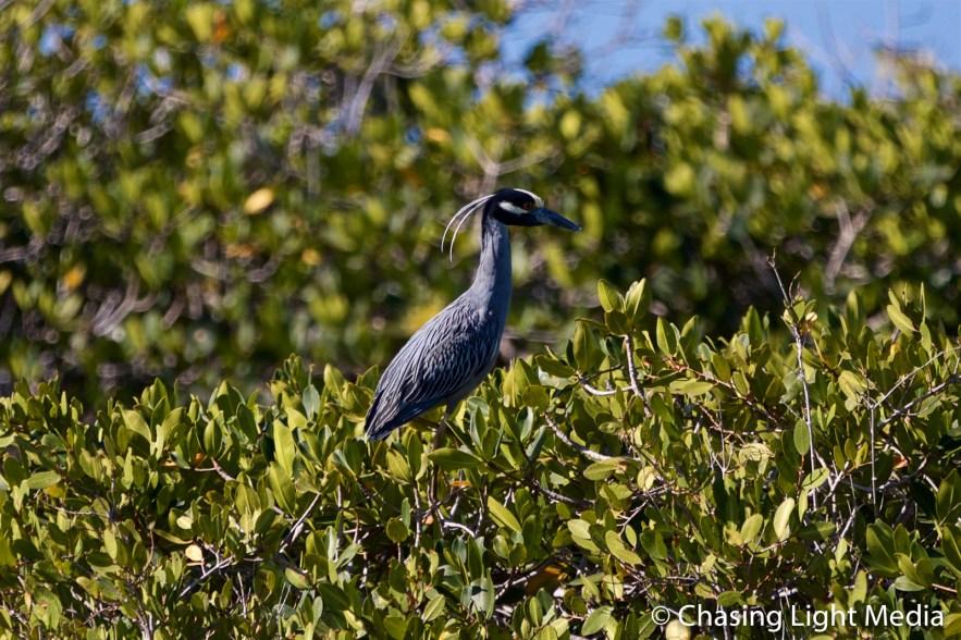 Yellow-crowned night heron in the mangroves, Laguna San Ignacia