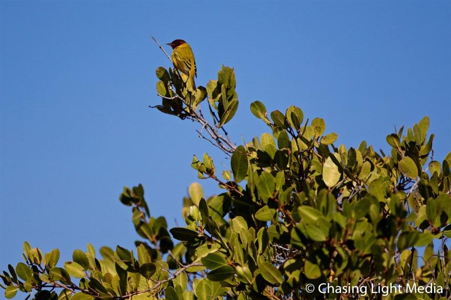 Yellow Mangrove Warbler in mangroves of Laguna San Ignacio