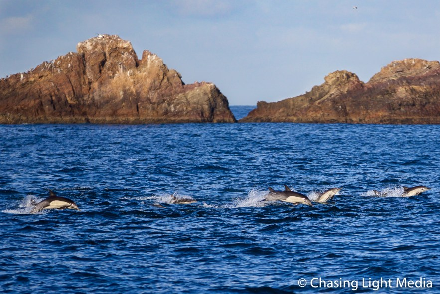 Herd of long-beaked common dolphins off the Baja coast