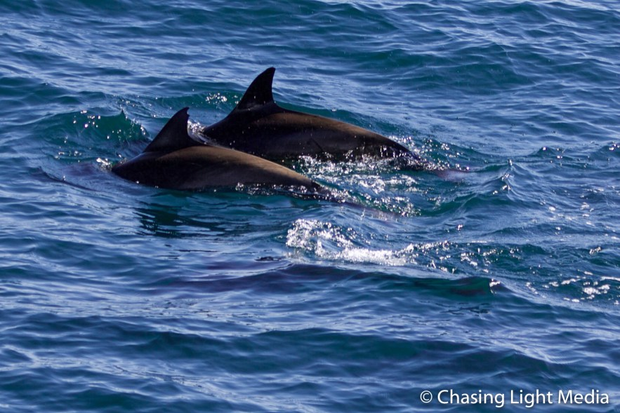 Pair of common dolphins, South of Magdalena Bay, Baja Mexico