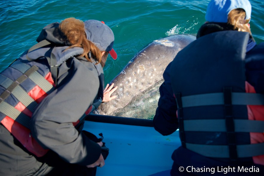 Kim Hull touches a young gray whale that approached the panga