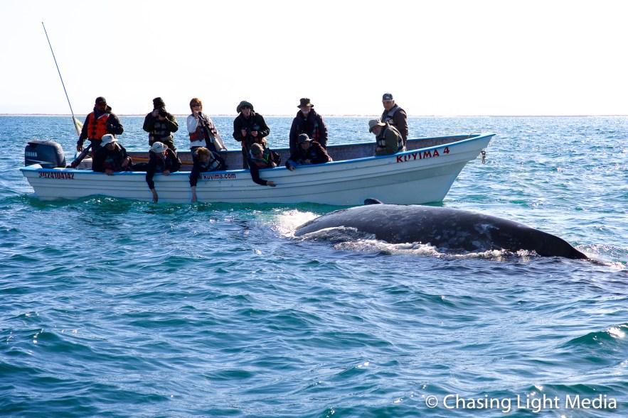 Gray whale approaching a panga full of visitors, San Ignacio