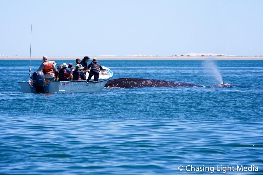 Panga near a spouting gray whale, San Ignacio, Searcher