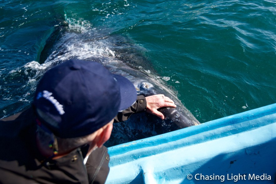 Greg Hull petting a grey whale at Laguna San Ignacio, Mexico