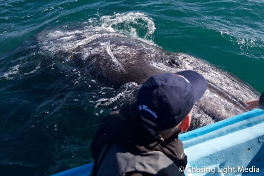 Greg Hull touching a grey whale at Laguna San Ignacio, Mexico