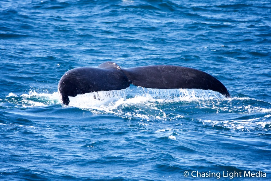Tail of fluking humpback whale flattens out, Gulf of California (Sea of Cortez), Baja California Peninsula, Mexico Photo: Greg K. Hull, Cool Adventures © Chasing Light Media