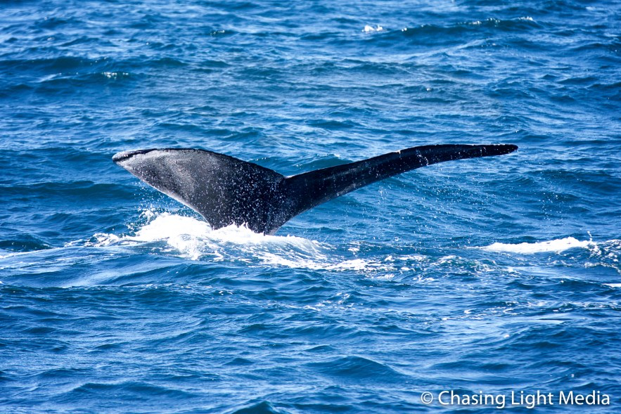 Humpback's tail enters water, Sea of Cortez, Baja Peninsula