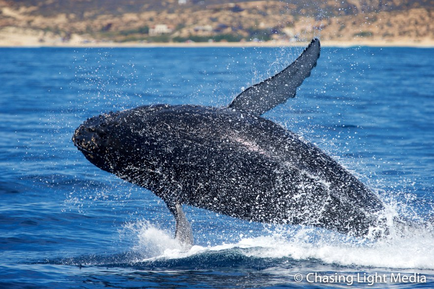 Breaching humpback whale falling on its side, Sea of Cortez