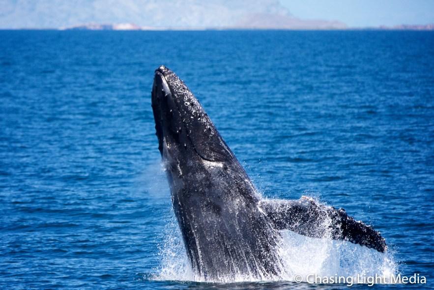 Breaching humpback whale [frame 1 - emerging]