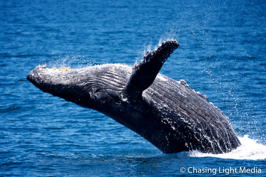 Breaching humpback whale [frame 6 - fall continues]