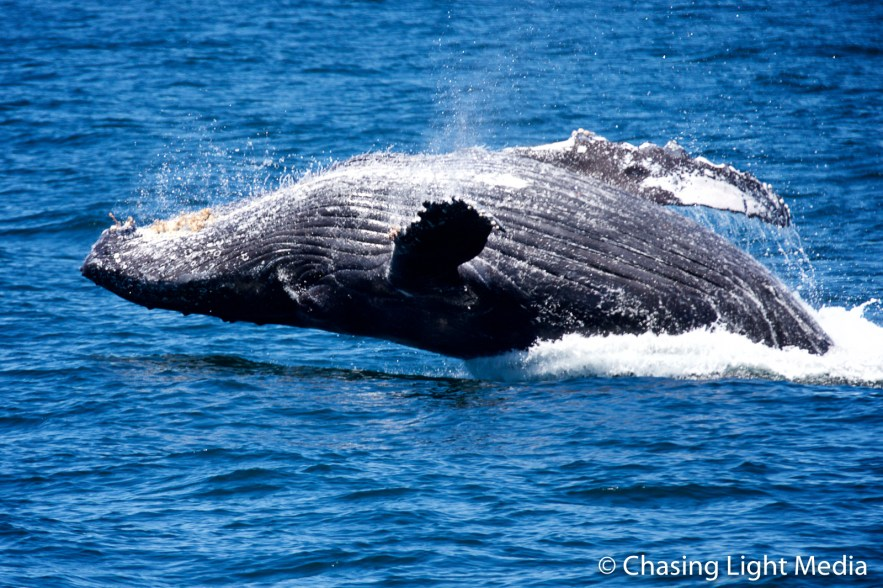 Breaching humpback whale [frame 7 - nearing surface]