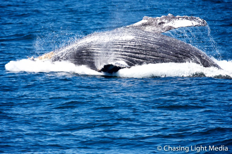 Breaching humpback whale [frame 8 - landing in water]