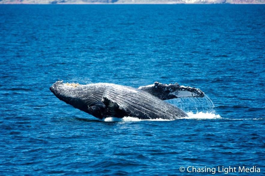 Breaching humpback whale offshore Isla San Francisco [frame 4]