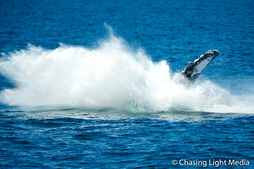 Breaching humpback whale offshore Isla San Francisco [frame 6]
