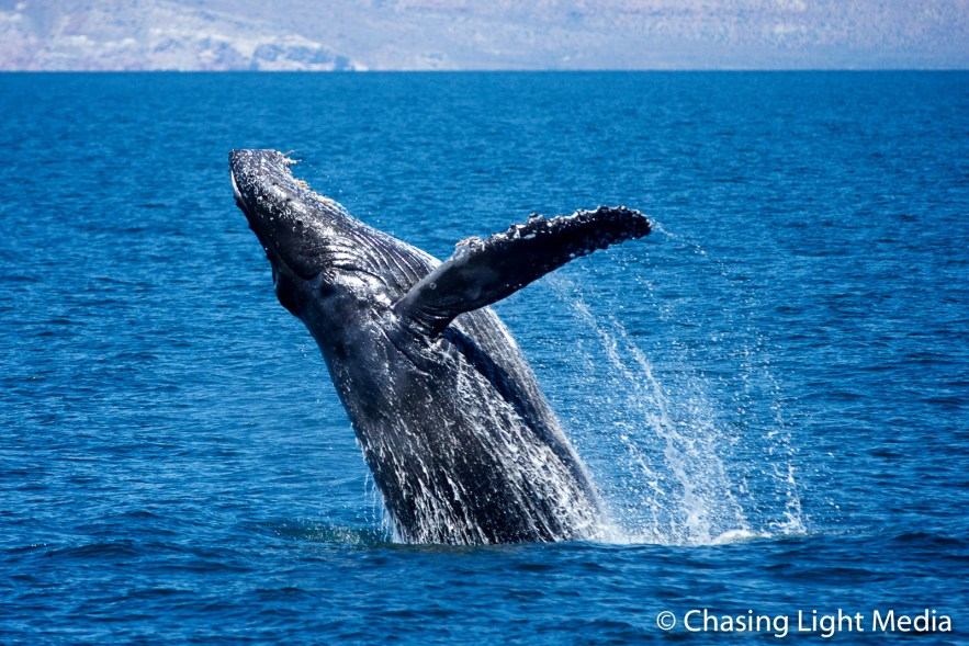 Breaching humpback whale [frame 1 - rising into the air]