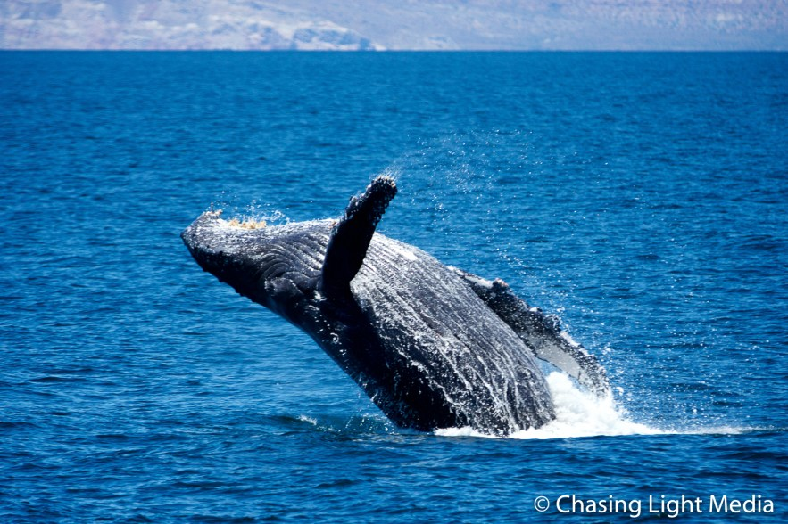 Breaching humpback whale [frame 2 - falling toward the water]