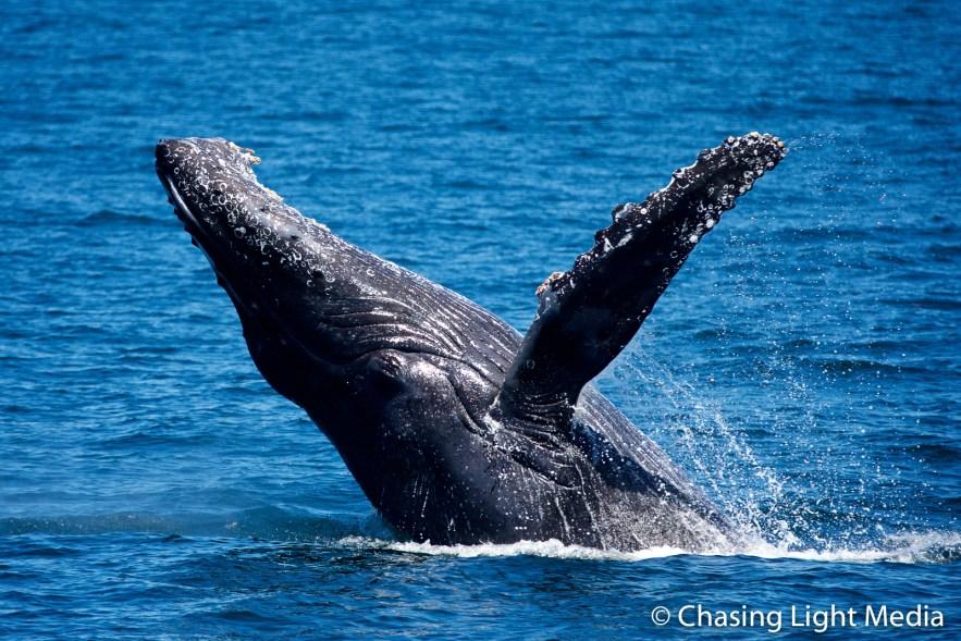 Breaching humpback whale [frame 2 - tilting back]