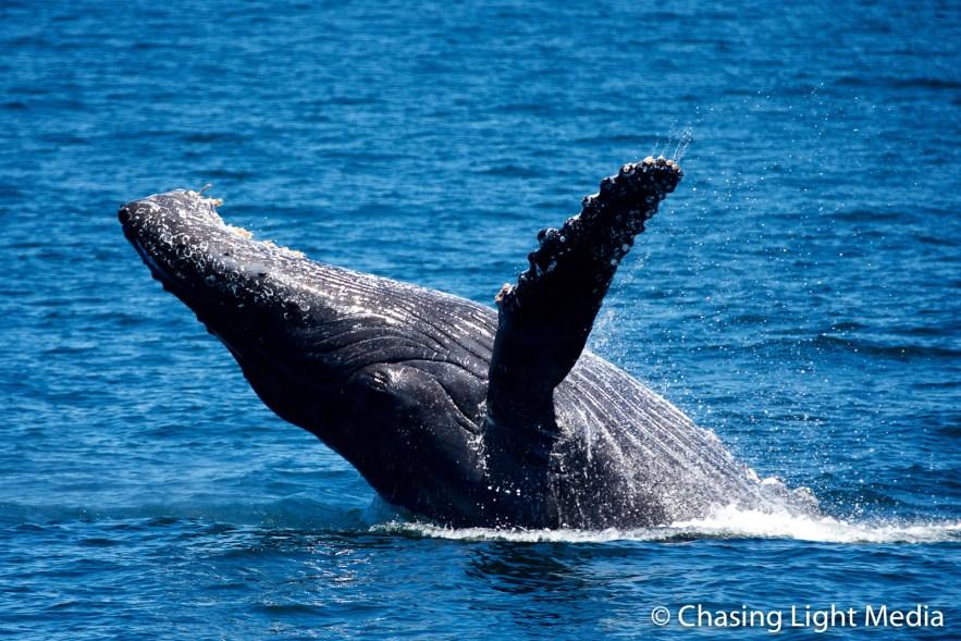 Breaching humpback whale [frame 3 - falling slowly]