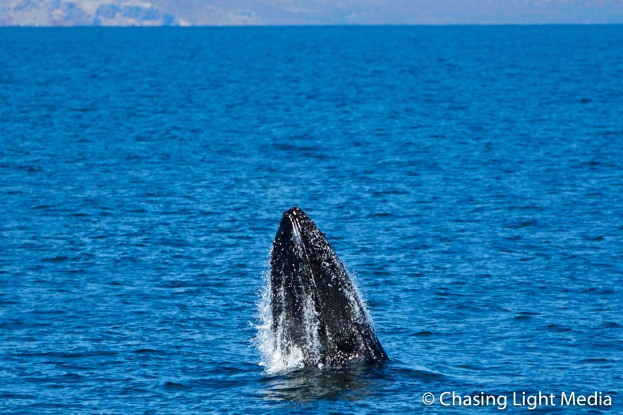 Humpback whale with head out of water on way up to breach