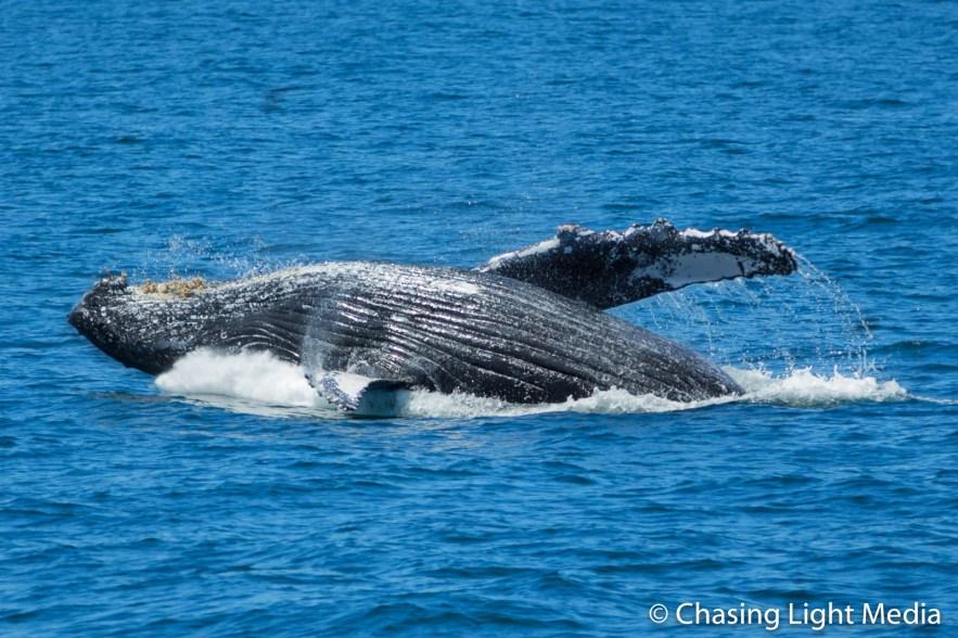 Humpback whale on back after breaching near Isla San Francisco
