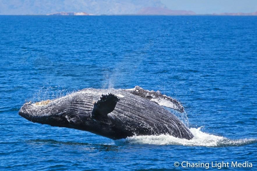Humpback whale near Isla San Francisco, Gulf of California