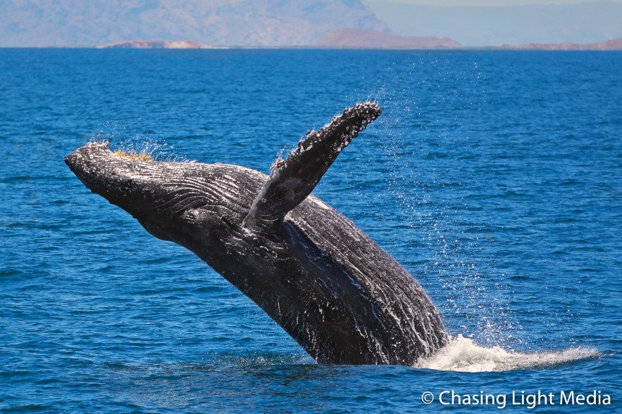 Breaching humpback whale near Isla San Francisco