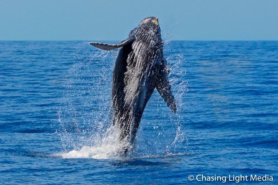 Breaching Humpback Whale near Gorda Bank, Baja, Mexico