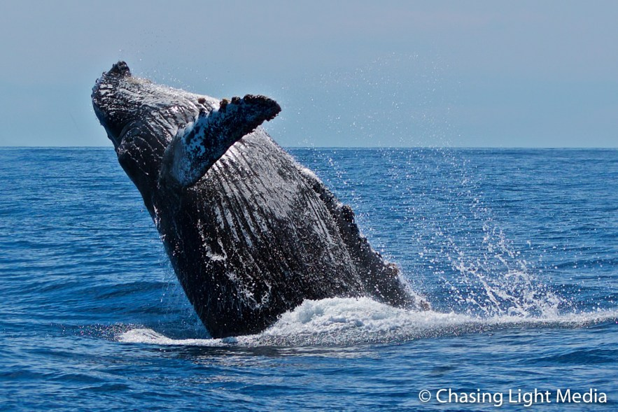 Humpback whales diving backwards in breach, Baja, Mexico