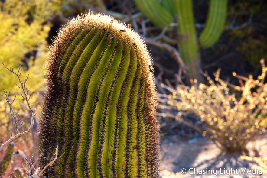 Barrel cactus, Isla Santa Catalina, Baja Peninsula, Mexico