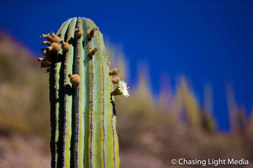 Flowering Mexican Cardon Cactus on Isla Santa Catalina