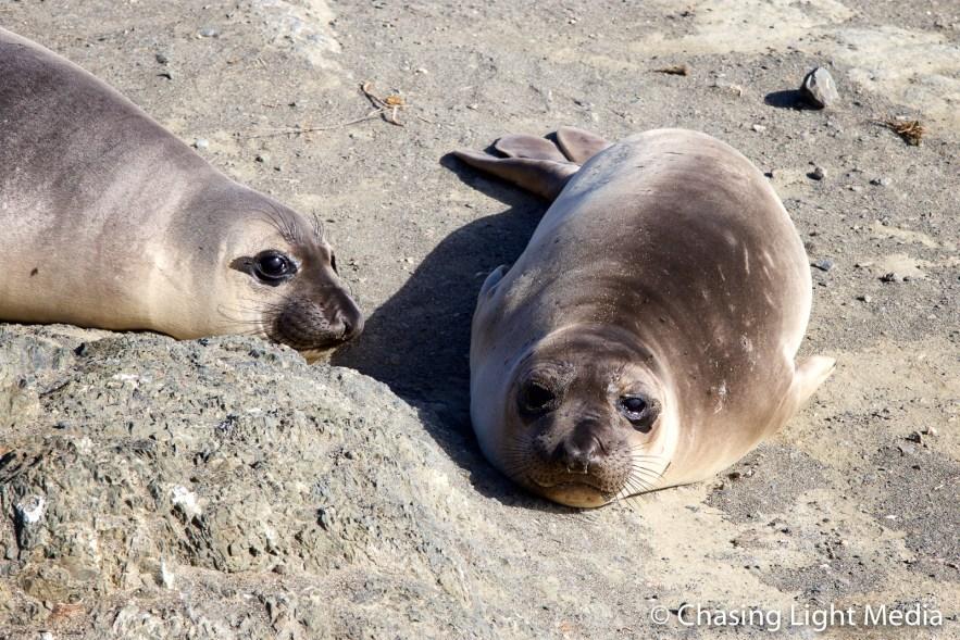 Pair of elephant seals, Baja Peninsula, Mexico