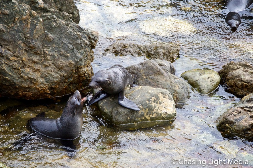 Playful Guadalupe fur seals, Baja Peninsula, Mexico