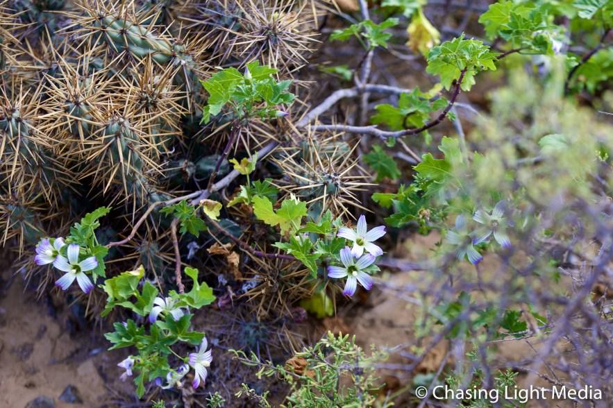 Cholla cactus and San Benito Island Bush Mallow, San Benito Oeste