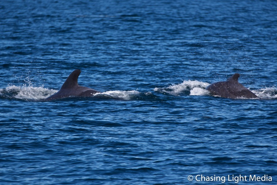 Two short-finned pilot whales in the Gulf of California, Mexico