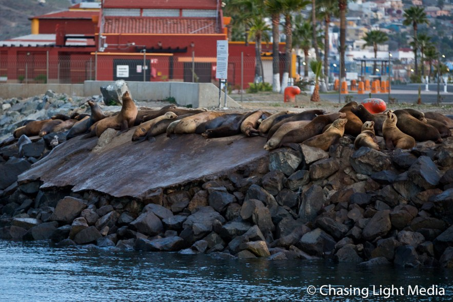 California sea lions at the Port of Ensenada, Ensenada, Mexico