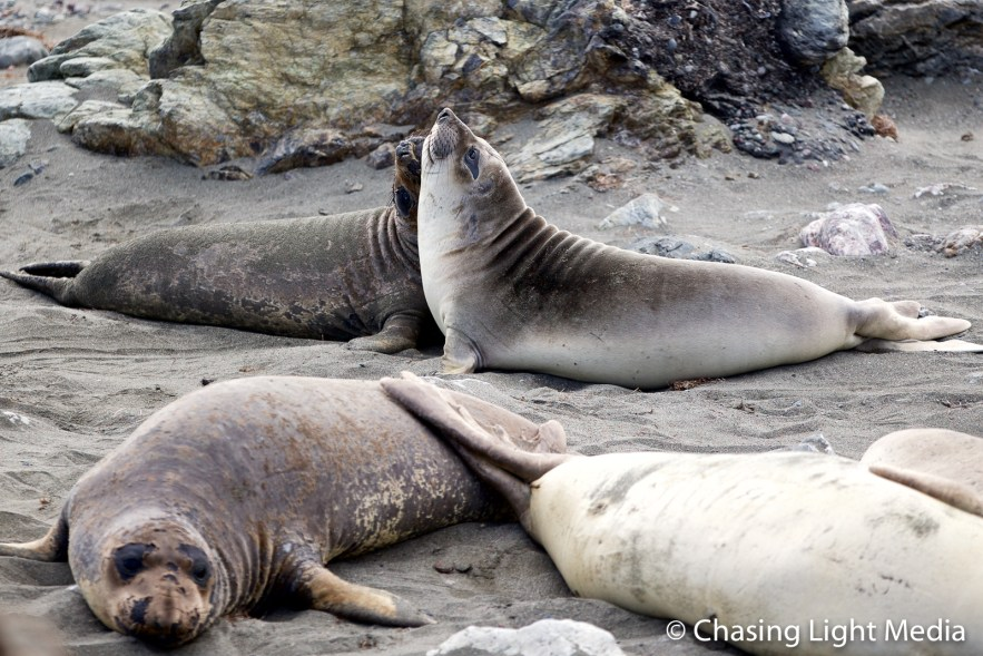 Two elephant seals play amidst the colony on San Benito Oeste