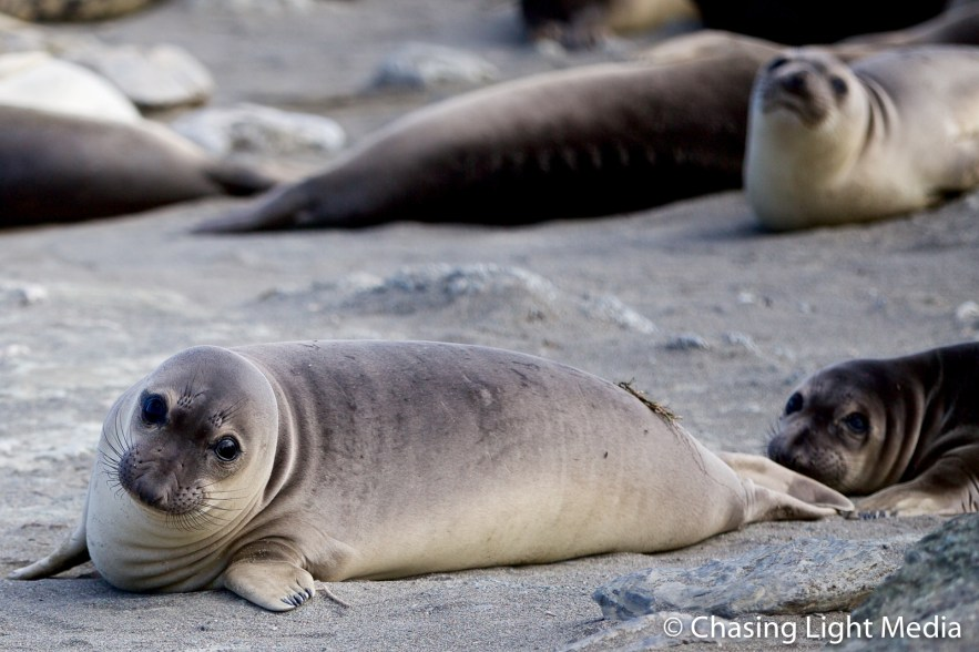 Inquisitive elephant seal on San Benito Oeste, Islas San Benito