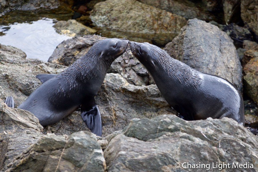 Kissing Guadalupe Fur Seals on San Benito Oeste