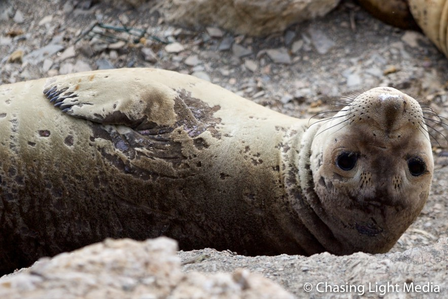Molting elephant seal lying on back on San Benito Oeste