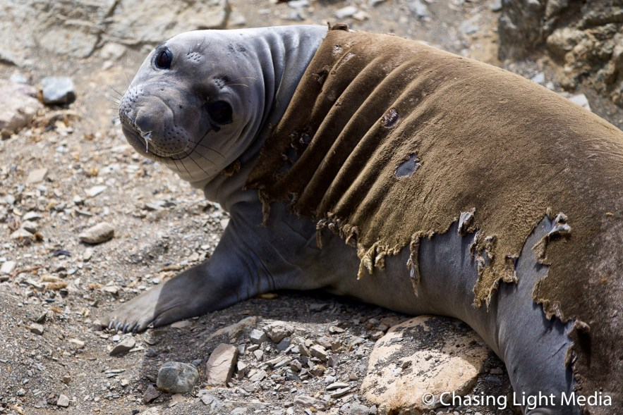 Northern elephant seal undergoing catastrophic molt