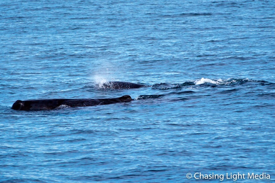 Multiple sperm whales swimming near Isla San Jose and Los Animas